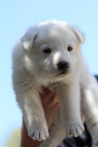 White-Swiss-Shepherd-Puppies-BTWW-I-Litter-250319-0050