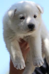White-Swiss-Shepherd-Puppies-BTWW-I-Litter-250319-0051