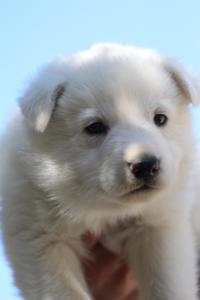 White-Swiss-Shepherd-Puppies-BTWW-I-Litter-250319-0052