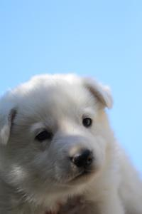 White-Swiss-Shepherd-Puppies-BTWW-I-Litter-250319-0053