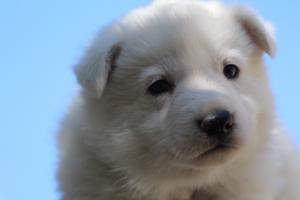 White-Swiss-Shepherd-Puppies-BTWW-I-Litter-250319-0054