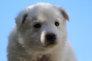 White-Swiss-Shepherd-Puppies-BTWW-I-Litter-250319-0055