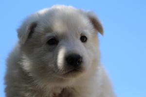 White-Swiss-Shepherd-Puppies-BTWW-I-Litter-250319-0056
