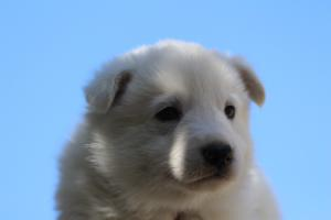 White-Swiss-Shepherd-Puppies-BTWW-I-Litter-250319-0057