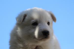 White-Swiss-Shepherd-Puppies-BTWW-I-Litter-250319-0058