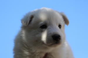 White-Swiss-Shepherd-Puppies-BTWW-I-Litter-250319-0059