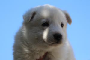 White-Swiss-Shepherd-Puppies-BTWW-I-Litter-250319-0060