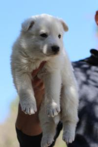 White-Swiss-Shepherd-Puppies-BTWW-I-Litter-250319-0062