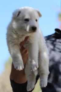White-Swiss-Shepherd-Puppies-BTWW-I-Litter-250319-0063