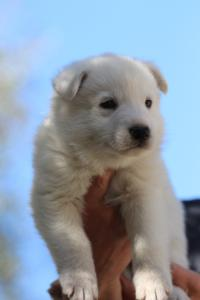 White-Swiss-Shepherd-Puppies-BTWW-I-Litter-250319-0065