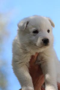 White-Swiss-Shepherd-Puppies-BTWW-I-Litter-250319-0066