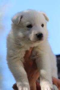 White-Swiss-Shepherd-Puppies-BTWW-I-Litter-250319-0067