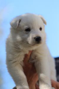 White-Swiss-Shepherd-Puppies-BTWW-I-Litter-250319-0068