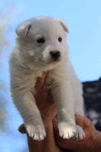 White-Swiss-Shepherd-Puppies-BTWW-I-Litter-250319-0070