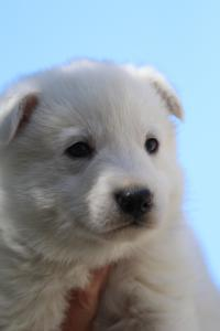 White-Swiss-Shepherd-Puppies-BTWW-I-Litter-250319-0071