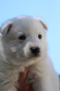 White-Swiss-Shepherd-Puppies-BTWW-I-Litter-250319-0072