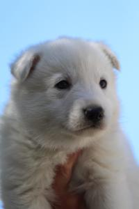 White-Swiss-Shepherd-Puppies-BTWW-I-Litter-250319-0073