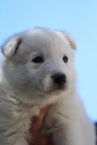 White-Swiss-Shepherd-Puppies-BTWW-I-Litter-250319-0074