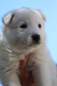 White-Swiss-Shepherd-Puppies-BTWW-I-Litter-250319-0075