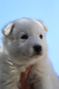 White-Swiss-Shepherd-Puppies-BTWW-I-Litter-250319-0076