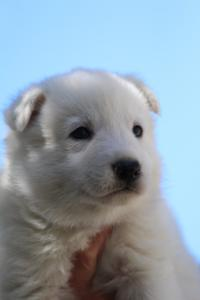 White-Swiss-Shepherd-Puppies-BTWW-I-Litter-250319-0077