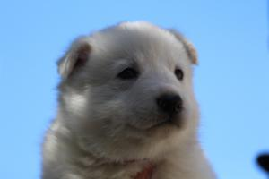 White-Swiss-Shepherd-Puppies-BTWW-I-Litter-250319-0078