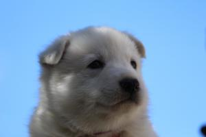 White-Swiss-Shepherd-Puppies-BTWW-I-Litter-250319-0079
