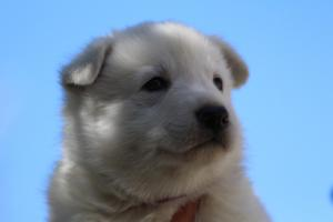 White-Swiss-Shepherd-Puppies-BTWW-I-Litter-250319-0080