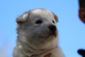 White-Swiss-Shepherd-Puppies-BTWW-I-Litter-250319-0081