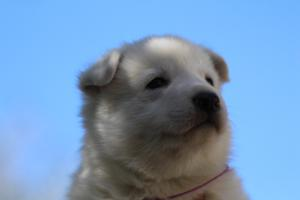 White-Swiss-Shepherd-Puppies-BTWW-I-Litter-250319-0082