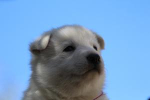 White-Swiss-Shepherd-Puppies-BTWW-I-Litter-250319-0083