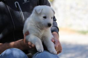 White-Swiss-Shepherd-Puppies-BTWW-I-Litter-250319-0085
