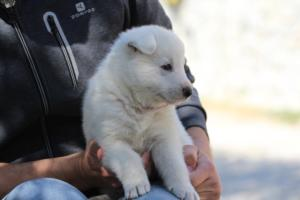 White-Swiss-Shepherd-Puppies-BTWW-I-Litter-250319-0086