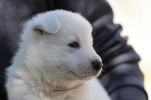 White-Swiss-Shepherd-Puppies-BTWW-I-Litter-250319-0087