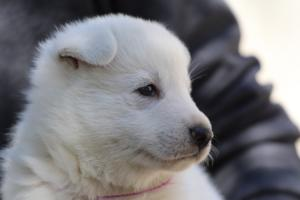 White-Swiss-Shepherd-Puppies-BTWW-I-Litter-250319-0088