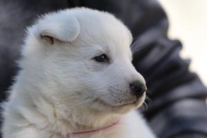 White-Swiss-Shepherd-Puppies-BTWW-I-Litter-250319-0089