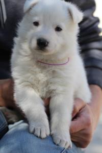 White-Swiss-Shepherd-Puppies-BTWW-I-Litter-250319-0090