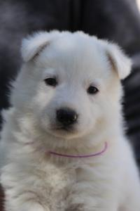 White-Swiss-Shepherd-Puppies-BTWW-I-Litter-250319-0091