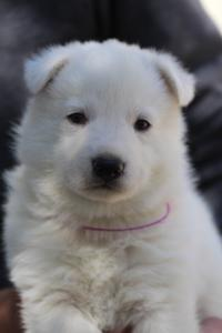 White-Swiss-Shepherd-Puppies-BTWW-I-Litter-250319-0093