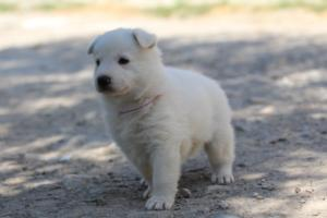 White-Swiss-Shepherd-Puppies-BTWW-I-Litter-250319-0094