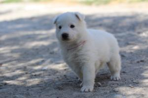 White-Swiss-Shepherd-Puppies-BTWW-I-Litter-250319-0095