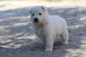 White-Swiss-Shepherd-Puppies-BTWW-I-Litter-250319-0096
