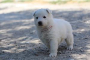 White-Swiss-Shepherd-Puppies-BTWW-I-Litter-250319-0097