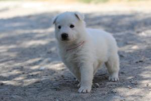 White-Swiss-Shepherd-Puppies-BTWW-I-Litter-250319-0098