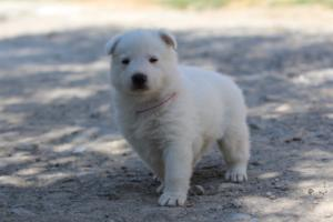 White-Swiss-Shepherd-Puppies-BTWW-I-Litter-250319-0099
