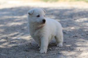 White-Swiss-Shepherd-Puppies-BTWW-I-Litter-250319-0100