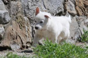 White-Swiss-Shepherd-Puppies-BTWW-I-Litter-140419-0001
