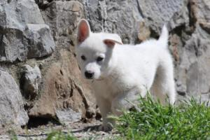 White-Swiss-Shepherd-Puppies-BTWW-I-Litter-140419-0002