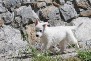 White-Swiss-Shepherd-Puppies-BTWW-I-Litter-140419-0003