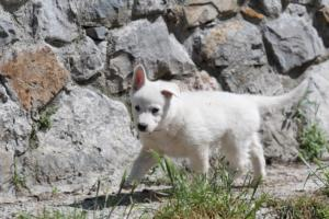 White-Swiss-Shepherd-Puppies-BTWW-I-Litter-140419-0004